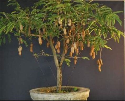 Tamarind Tree Fruit Highly rated detoxing usage   Spain Info